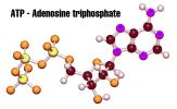 Tìm hiểu về hoạt chất Adenosine và tác dụng của nó với sức khỏe con người