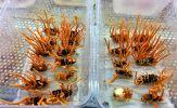 Chất lượng của đông trùng hạ thảo tươi Việt Nam có tốt hay không?