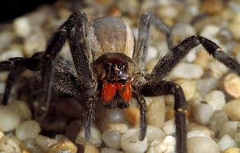Loài nhện độc giúp tăng phong độ đàn ông