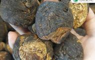 Củ Maca Peru đen - tài sản quý giá, bí quyết sống khỏe của người dân Peru