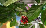 Mẹo phân biệt hạt giống sâm Ngọc Linh đạt chuẩn có thể bạn chưa biết