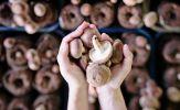 Kinh ngạc điều xảy ra nếu bạn ăn 2 cây nấm mỗi ngày